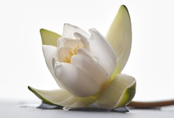 Single beautiful white lotus flower or water lily on white background.  Shallow  depth of field