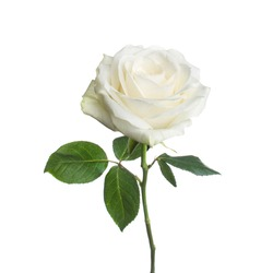 single beautiful white rose isolated  background