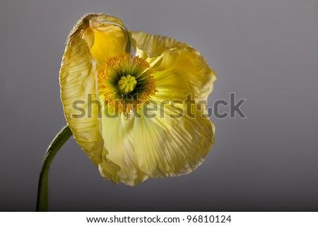 Single beautiful yellow poppy flower studio shot