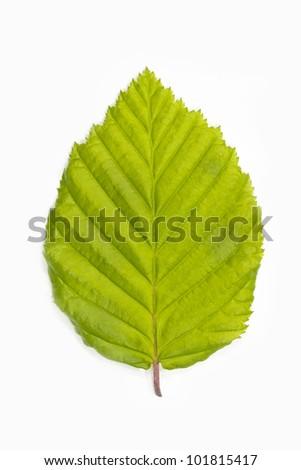 Single beech tree leaf (Fagus) on white background