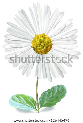 Single Bellis with Clipping Path