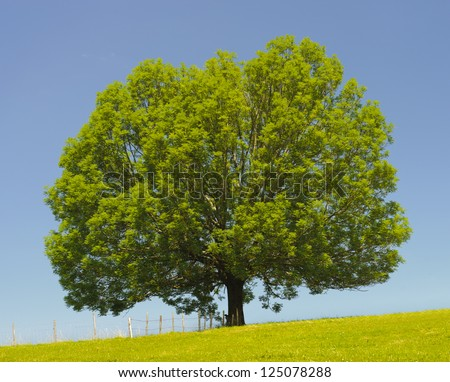 single big ash tree in meadow at spring