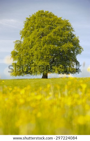 single big beech tree at spring in Bavaria, Germany