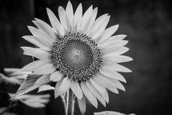 Single black and white Sunflower