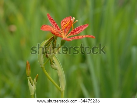 single Blackberry Lily closeup, blurred green background