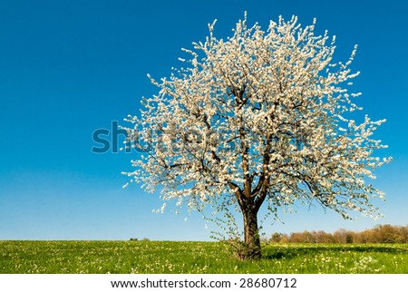 single blossoming cherry tree in spring