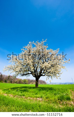 Single blossoming tree in spring on a rural field with blue sky