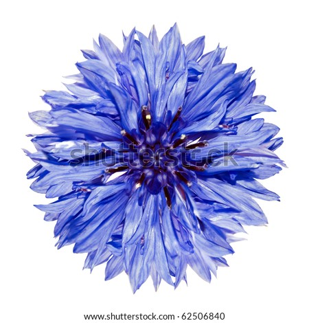 Single Blue Cornflower - Blue Centaurea cyanus Isolated on White Background