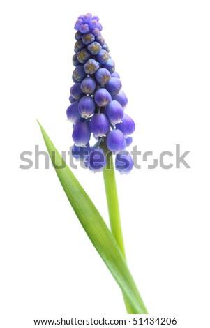 Single blue fresh grape hyacinth flower isolated on white - stock photo