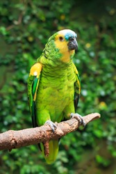 Single Blue-Fronted Amazon Parrot (Amazona aestiva) sitting on a tree branch