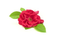 single bright natural rosebud with green leaves white isolated