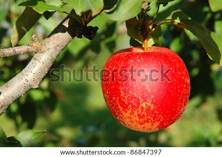 Single Bright Red Apple on a Branch