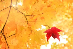 Single bright red dry maple leaf falling down from golden tree viewed upwards. Golden autumn time background