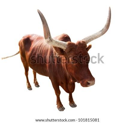 single bull isolated on white background