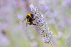 Single bumble bee on lavender with bokeh blurred abstract pastel background