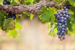 Single bunch of Shiraz grapes on vine