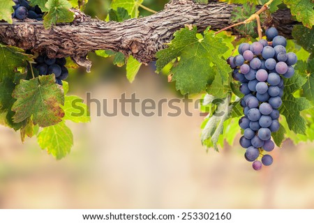 Single bunch of Shiraz grapes on vine