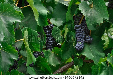 Single bunch of Shiraz grapes on vine.Close-up of bunches of ripe red wine grapes on vine, selective focus. #1460692142
