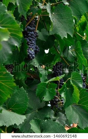 Single bunch of Shiraz grapes on vine.Close-up of bunches of ripe red wine grapes on vine, selective focus.