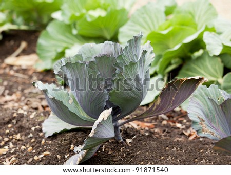 Single cabbage growing in kitchen garden