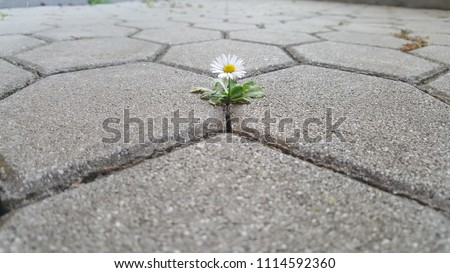 Single chamomile breaking through cobbles