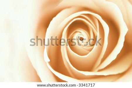 single close-up rose - stock photo