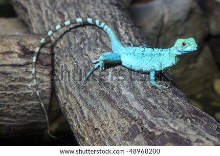Single colorful green basilisk lizard