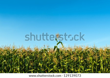 Single corn plant growing faster than the other ones in a corn field in summer