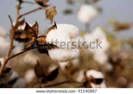 single cotton ball in the cotton fields