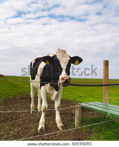 single cow on pasture in northern Germany