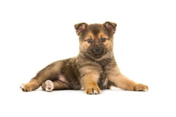 Single cute lying down pomsky (mix between pomeranian and husky) puppy dog facing the camera isolated on a white background