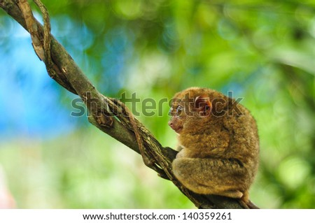 Single cute tarsier with big open eyes sits in the tree . Shot in Tarsier Preservation Museum, Bohol, Philippines.