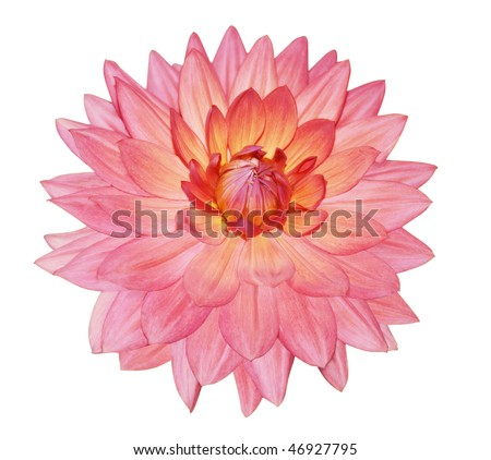 Single Dahlia Flower isolated with clipping path
