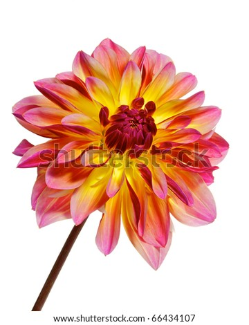 single  dahlia, pink with red and yellow color, isolated on white - stock photo