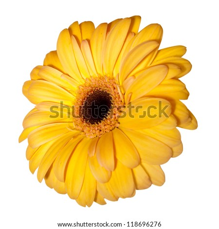 Single daisy flower. Isolated over white background