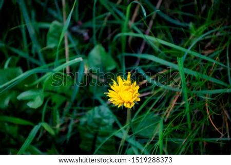 Single dandelion flower  with grass background