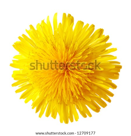 Single dandelion, isolated on white background for icon