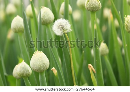 single dandelion that does not  belong stands out in a group of onion flowers