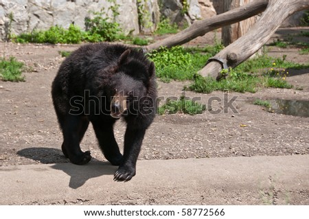 Single dangerous Asian black bear (Ursus thibetanus) strolling impatiently