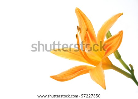 Single day lily of orange isolated on a white background with copy space.