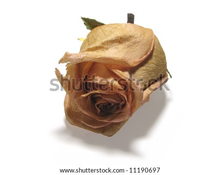 single dead rose isolated on white