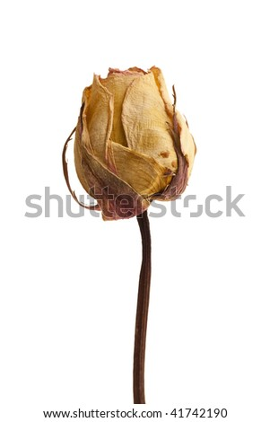 Single dead rose macro isolated on white