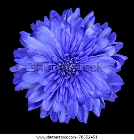 Single Deep Blue Chrysanthemum Flower Isolated over Black Background. Beautiful Dahlia Flower head Macro