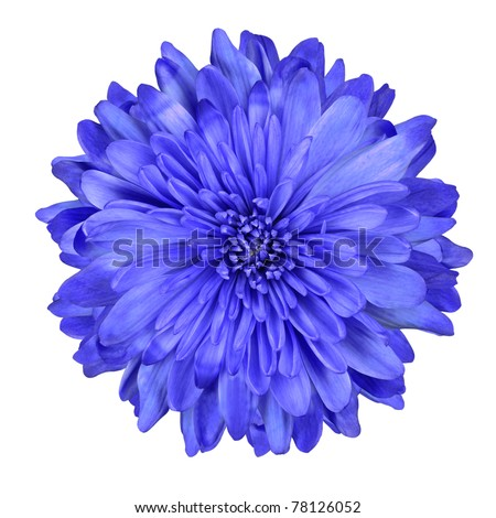 Single Deep Blue Chrysanthemum Flower Isolated over White Background. Beautiful Dahlia Flowerhead Macro