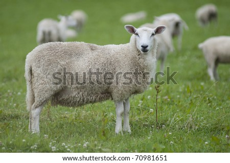 Single dirty sheep looking to camera - stock photo