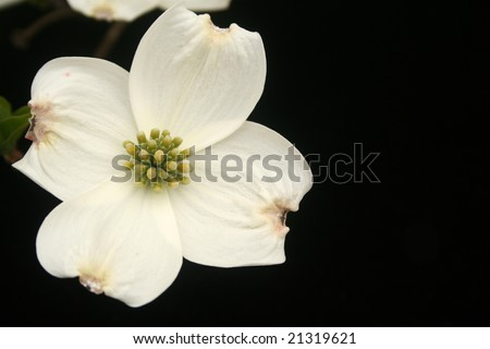 Single dogwood bloom