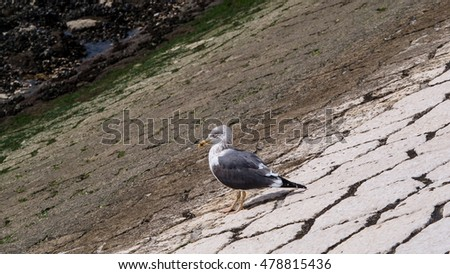 single dove standing on rock floor by the river #478815436
