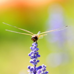 Single dragonfly holding lavenders in garden