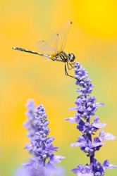 Single dragonfly holding lavenders with orange background.