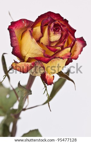 Single Dried Red-Tipped Rose on White Background